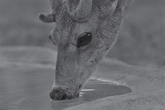 Mule Deer (Cruzin Canines Photography) Tags: wild portrait blackandwhite nature monochrome animal animals closeup canon outside mammal outdoors zoo wildlife naturallight calm deer wildanimal muledeer tamron bakersfield naturepreserve califorina kerncounty californialivingmuseum 5ds canon5ds eos5ds tamronsp150600mmf563divcusd canoneos5ds