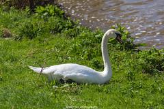 Heidelberg Swan - April 2016 (boettcher.photography) Tags: heidelberg april 2016 frhling spring boettcherphotography sashahasha bird vogel animal tier schwan swan
