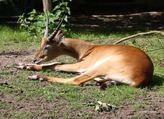 4-IMG_2176 (hemingwayfoto) Tags: afrika antilope berlin horntrger kafuelitschimoorantilope kobuslechekafuensis natur paarhufer sugetier tier wild zoo