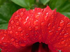 red /rain drops (kenjet) Tags: flowers red flower water leaves rain hawaii petals drops flora pretty blumen petal raindrops waterdrops blume