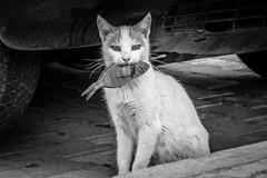 ..:: all mine ::.. (bora_binguel) Tags: fish nature animal cat turkey blackwhite urlaub trkiye natur streetphotography fisch trkei katze schwarzweiss kedi tier ayvalik hayvan doa raubtiere balk sugetiere bobidigitalphotography