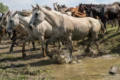 Saca de las Yeguas 2016 (Julin Ro Di) Tags: horses animal caballos huelva almonte polvo yeguas tamron18200 sonyilca77 sacadelayeguas