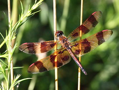 Male Halloween Pennant Dragonfly (carolesong) Tags: male dragonfly hamburgpa halloweenpennant kaerchercreek celithemiseponina15inches