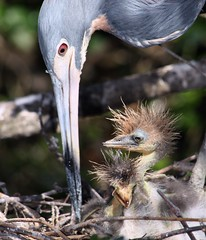 He's My Brother (PelicanPete) Tags: family blue wild usa cute bird animal closeup hug babies dof close unitedstates nest feeding florida outdoor pair feathers young siblings aliens depthoffield newborn ugly tight wingspan badhairday rookery tricoloredheron egrettatricolor plumage hotsummer brightsunlight behavioral inthewild wildlifephotography hesmybrother inthenest northernflorida specanimal greenbokeh coolshade saintaugustineflorida avianexcellence parentandoffspring animalparentandoffspring summer2016 aviancapture dmslair thelittlealiens