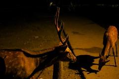 / Shika Deer (kimtetsu) Tags: animal japan deer  nara   narapark