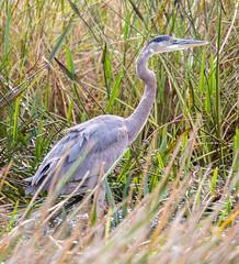 _C5A3509.jpg (Lake Worth) Tags: bird nature birds animal animals canon wings wildlife feathers sigma waterbird wetlands everglades waterbirds southflorida 2xextender