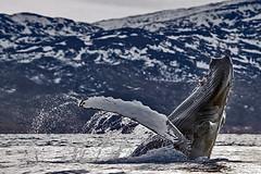 Humpback Whale, Fjord near Tromso, Norway (David Alexander Elder) Tags: cruise november sky david norway circle lights norge search arctic killer aurora elder fred whale fjord whales orca alexander polar humpback northern olsen breaching borealis finnmark tromso boudicca 2014 in aurorae