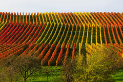 Rolling Hill in the Autumn Vineyard (Batikart) Tags: autumn trees red orange plants plant green fall nature colors grass leaves lines yellow rural canon germany landscape geotagged outdoors deutschland leaf vines europa europe seasons quilt wine stripes patterns hill felder tranquility foliage growth vineyards grapes repetition fields greenery recreation agriculture patchwork relaxation multicolored ursula bltter 500faves grape variation rolling colurful indiansummer wein weinberg sander g11 2014 vogelperspektive fruittrees badenwrttemberg herbstfrbung 100faves 200faves weinstadt birdseyeperspective strmpfelbach 300faves 400faves batikart canonpowershotg11