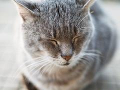 cat tabby silvertabby pet panasoniclumixdmcgf1 gf1... (Photo: elkarrde on Flickr)