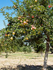 ripe orchard (dolanh) Tags: orchard appletrees nationalhistoricsite fortvancouver