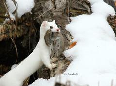 Weasel IMG_6992© (pamfromcalgary) Tags: wild white snow calgary nature animal mammal ermine alberta predator stout meadowvole longtailedweasel mustelafrenata pamhawkes