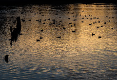 Saltwater bay (glimpsesborrowed) Tags: canada bird duck britishcolumbia vancouverisland