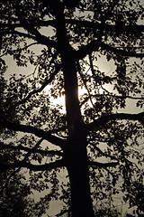 dentelle (Steph Blin) Tags: tree nature backlight contraluz arbre contrejour tilleul