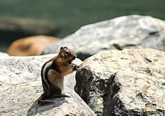 Moraine Lake chipmunk - HBW! (karma (Karen)) Tags: canada texture topf25 rocks dof bokeh alberta chipmunks morainelake canadianrockies banffnp hbw canadanationalparks bokehwednesdays