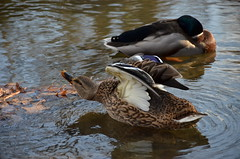 Stretching is Important. (Gerald Cuffe) Tags: park bird water birds river duck wings pond nikon stream turtle beak stretch cleaning waterfowl stretching akron scratching d7k d7000