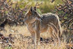 Coyote in the Arizona Sun (marzipan bunny) Tags: coyote arizona december tucson 11 raptors arizonasonoradesertmuseum 2014