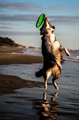 21122014-IMGP3514 (DamZs) Tags: dog chien beach australian australien aussie plage berger shepherds