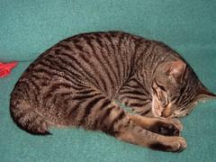 """Katze """"Stummelchen"""" , NGID1327640964 (naturgucker.de) Tags: naturguckerde cmanfredweinhold gronaulhausgarten hauskatzefelisdomesticat ngid1327640964"""