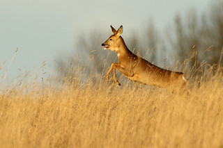 Capreolus capreolus ♀ European Roe Deer