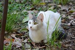 Michin (Carlos Fernando Torres Johnston) Tags: pets cat nikon kitten amor gata mascota lanus 18105mm d7100