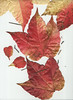 Weinlaub Vine Leaves Leaf Wein Blatt Blätter Herbst Autumn scan (hn.) Tags: autumn copyright fall leaves season leaf scans heiconeumeyer flat laub herbst jahreszeit vine scan scanned vitaceae flattened blatt blätter wein virginiacreeper parthenocissus flach gepresst copyrighted weinblatt vineleaves vineleaf wilderwein wildvine gescannt weinlaub laubblatt gescanned weinrebengewächse