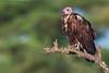 Hooded Vulture (arfromqatar) Tags: doha qatar canon600mmf4 canon1dmarkiv qatarnationalday arfromqatar qatar2022fifaworldcup abdulrahmanalkhulaifi
