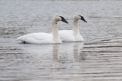 Trumpeter Swans (chlorophonia) Tags: birds animals unitedstates ducks maryland animalia collegepark trumpeterswan vertebrates anatidae cygnusbuccinator geeseandswans