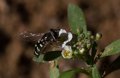 Wishing For More (harefoot1066) Tags: syrphidae brassicaceae diptera sweetalyssum syrphidfly syrphinae aschiza syrphini lobulariamaritima sweetalison alyssummaritimum eupeodesvolucris birdhoverfly