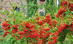 Bittersweet (Italy) (stevelamb007) Tags: red italy italia berries vine umbria bittersweet d90 stevelamb villastrada villastradaumbriaitaly