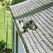cat on a hot tin roof: Bhaji, Musselburgh, Sept 1992