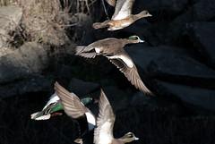 Leaving together (TJ Gehling) Tags: bird duck flight anas northernshoveler shoveler americanwigeon birdinflight wigeon anasclypeata anatidae anasamericana birdflight richmondca meekerslough meekersloughcreek