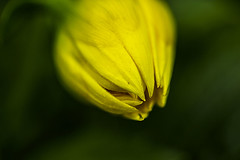 Im staring to look forward to the spring... (Anna.Andres) Tags: plant flower macro yellow iceland bokeh outdoor depthoffield sland canoneosrebelt2i annagumundsdttir
