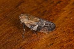 Froghopper (zosterops) Tags: macro australia tasmania insecta froghopper hemiptera kenko20mmextensiontube sistersbeach cercopidae rockycapenationalpark canoneos6d canonmacrolensef100mm