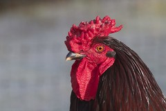 Cockerel, Araucana cross (Ann@Plas Gwernoer) Tags: male chicken poultry hens chooks cockerel araucana