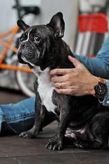 那雙凝視的雙眼, 想傳達什麼呢? (Danburg Murmur) Tags: dog chien taiwan bulldog hund taipei 台灣 台北 犬 狗 buldog bulldogge собака 개 bouledogue chó ブルドッグ câine бульдог สุนัข đực कुत्ता 불독 牛頭犬 કૂતરો ឆ្កែ બુલડોગ สุนัขบูลดอก एकप्रकारकाकुत्त