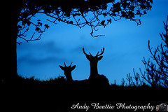 2016-05-04-053 (Andy Beattie Photography) Tags: uk england nature mammal photography europe photographer wildlife yorkshire deer halifax ungulate northyorkshire westyorkshire ripon eventoed pecora cervusnippon sikadeer hoofed andybeattie andybeattiephotography
