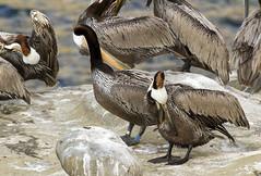 Brown Pelican (band K39) (christopheradler) Tags: california brown tag pelican banded occidentalis pelecanus