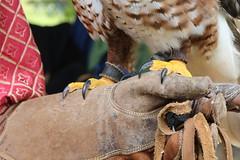 (danielebenvenuti) Tags: italy canon florence reflex italia outdoor giallo tuscany firenze toscana aquila scandicci cuoio guanto artigli piume canon700d