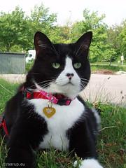 The fair princess (2011) (Finn Frode (DK)) Tags: pet cats animal cat pose denmark spring outdoor walk olympus leash snowwhite mixedbreed domesticshorthair e400 snehvide fairestinthelands