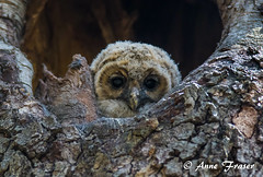 little cutie (Anne Marie Fraser) Tags: baby tree cute bird nature nest little sweet wildlife cutie owl barred