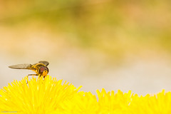 Wasp + dandelion = Taste of summer (NikonStone (on and off)) Tags: summer yellow insect nikon warm wasp dandelion d7100