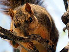 It was decision time to flee or not. (kennethkonica) Tags: wild usa color tree nature animal america canon fur rodent eyes squirrel midwest close random outdoor indianapolis wildlife indy indiana whiskers stare animalplanet global hoosiers canonpowershot marioncounty animaleyes