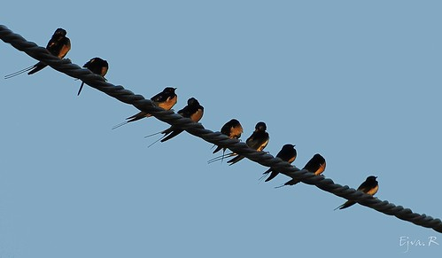 Barn Swallow Füsti fecskék