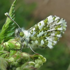 Orange Tip - Anthocharis cardamines F (Camerar) Tags: uk butterfly insect butterflies orangetip anthochariscardamines pieridae