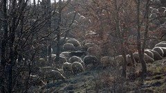 moutons du soir (b.four) Tags: wood oak sheep mouton bois bosco alpesmaritimes quercia pecora chne coursegoules saintbarnab ruby5