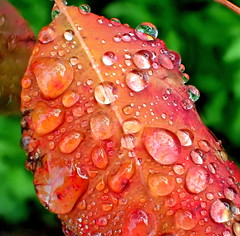 Autumn Water Droplets (elliott.lani) Tags: autumn orange color colour macro nature water leaves rain gardens garden outdoors leaf bright bokeh foliage colourful lani waterdroplets allrightsreserved naturephotography greenbackground raindroplets elliottlani lanielliott