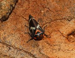 Gumtree hopper (ron_n_beths pics) Tags: westernaustralia treehoppers eurymelidae carineswamp