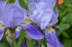 Iris (Sandra Kirly Pictures) Tags: flowers iris flower spring outdoor poland warsaw botanicalgarden warszawa ogrdbotaniczny