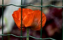 Coquelicot en cage. (Diegojack) Tags: fleurs rouge nikon jardins plantes coquelicots treillis echandens nikonpassion d7200