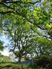 First glimpse of bluebells at Ynys Hir (Sue Wolfe) Tags: flowers nature birds wales landscapes westwales wildlife cymru wildflowers ceredigion montgomeryshire meirionnydd dyfiestuary dyfi dysynni dysynnivalley welshwildlifebreaks dyfibiosphere dyfiospreyproject